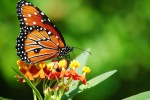 1-backyard-butterflies-10-12-0911